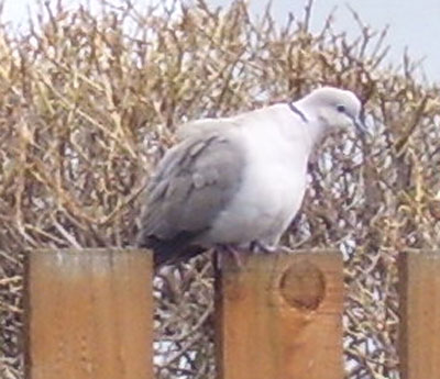 Eurasian Collared-Dove. Note the dark collar (partial ring) on the back of the neck.