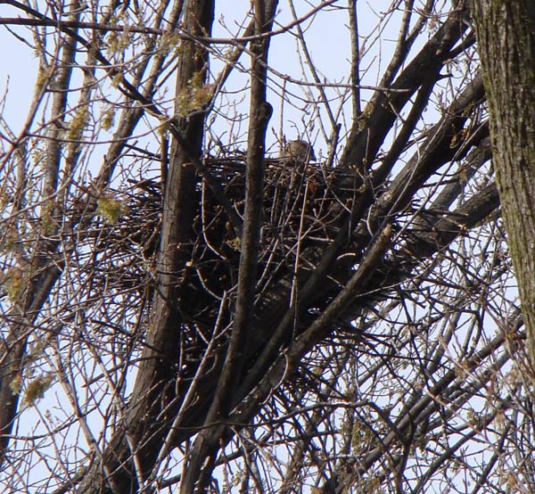 Cooper's Hawk on nest in a residential area of south Oak Park. You can see the head of one of the parent birds sticking up above the nest. Photo by Ethan Gyllenhaal.
