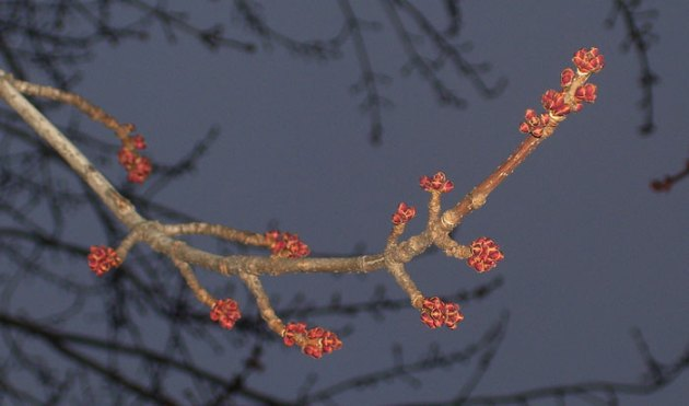 These maple buds are getting bigger week by week -- a sign that spring is coming!