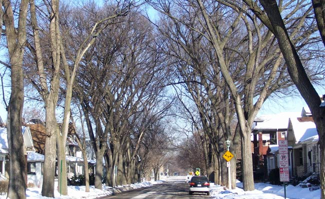 A few streets in our neighborhood are still lined with lots of elms.