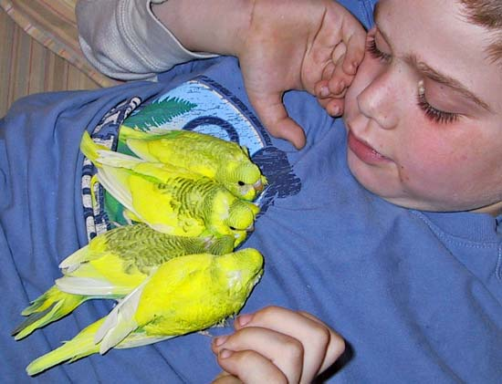 Seven-year-old Aaron cuddling with his fledging parakeets.
