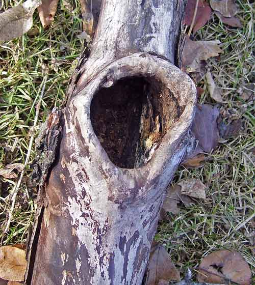 This hollow may have been carved by woodpeckers looking for a place to nest.