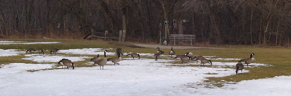 There were at least 200 Canada Geese at Columbus Park on February 9th.