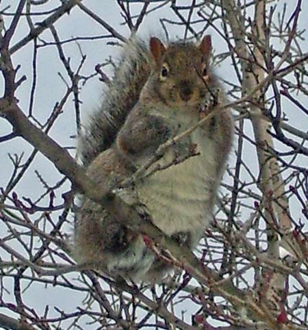Gray Squirrels, like this one, are replacing Fox Squirrels in our neighborhood.