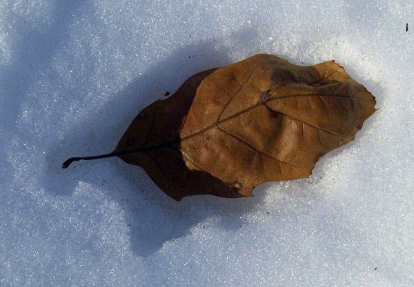 Each leaf was in its own leaf-shaped hole, an inch or so below the surface.