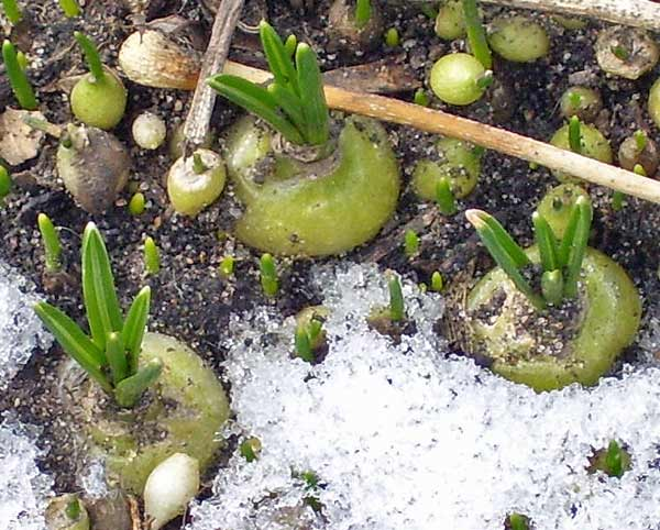 Tiny bulbs sprouting tiny leaves. The biggest bulb is a centimeter across.