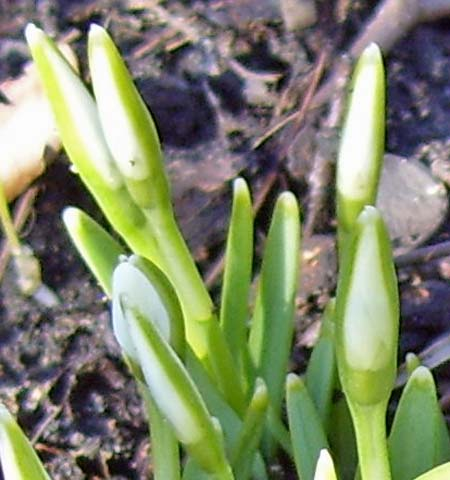 The translucent buds have not yet developed separate petals.
