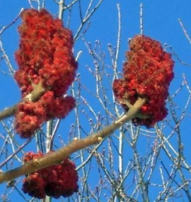 The red color comes from clusters of fuzzy fruits.