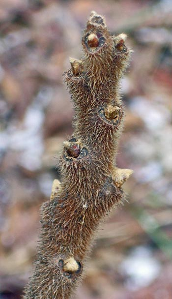 The twigs are fuzzy, too, giving Staghorn Sumac its name.