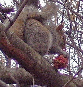 This Gray Squirrel is eating such fruit.