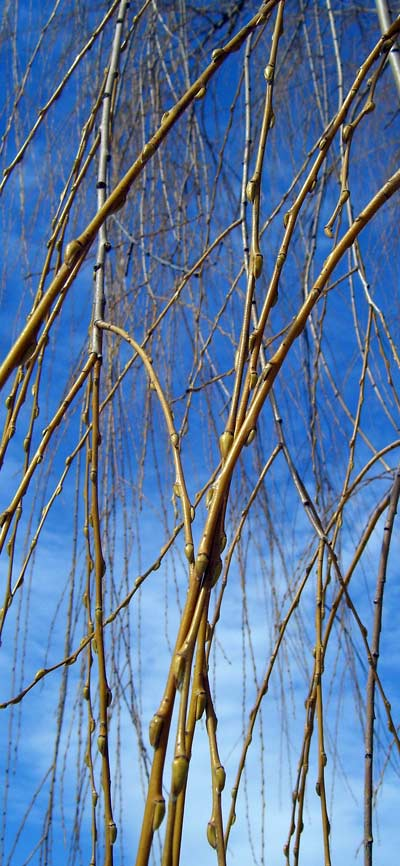 The buds on Weeping Willow twigs have been slowly swelling and deepening their color.