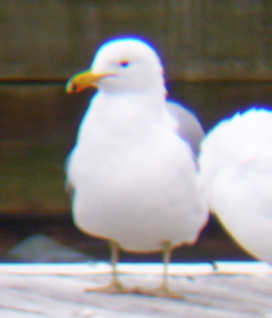 California Gull. Note the yellowish legs, dark eye, and dark mark on the bill.