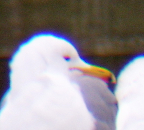 California Gull. Note the reddish mark behind the dark band on the bill.