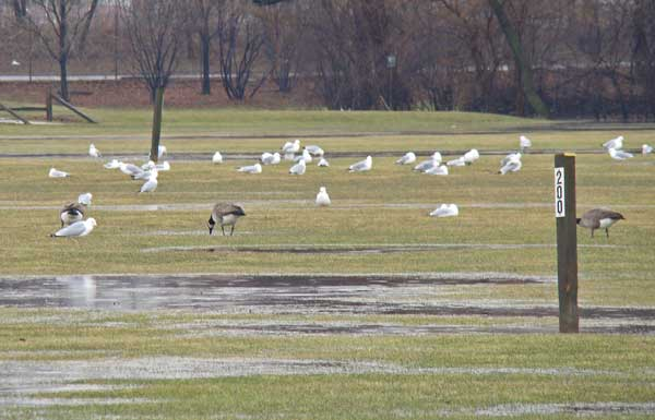 The gulls congregated on the soggy golf course. Photo by Ethan Gyllenhaal.