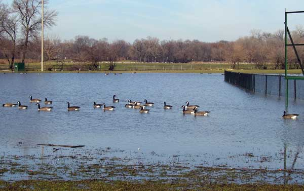 Canada Geese swim across the flooded fields in the southeast corner of Columbus Park.