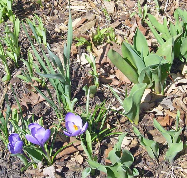 Last week's leaves had grown bigger, and the first crocuses had bloomed!