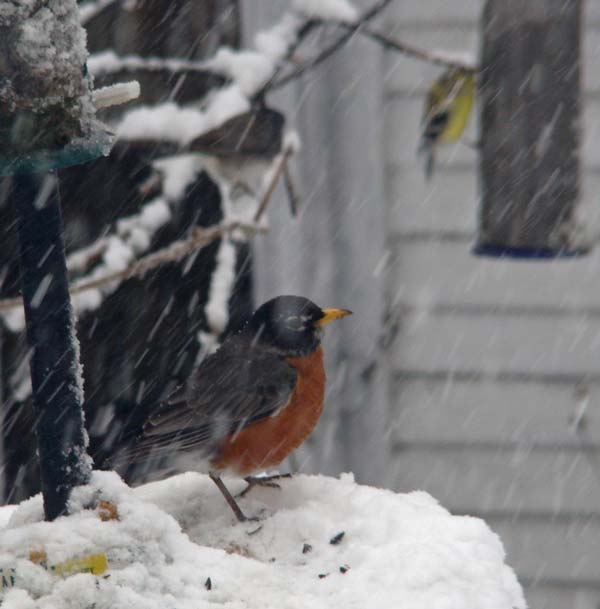 A hungry Robin sits on our feeder, with a Junco and Goldfinch in the background.