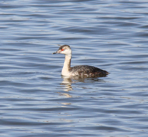 Horned Grebe, still in winter plummage. Note how much smaller the bill is than on the Red-necked Grebe. Photo by Ethan Gyllenhaal.