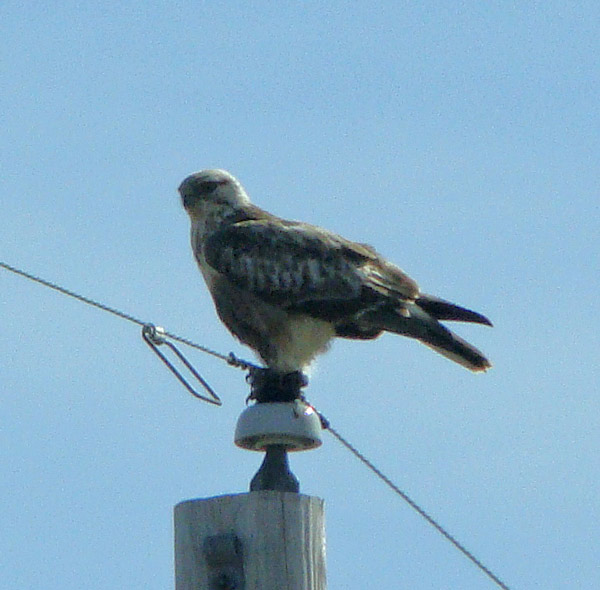 The Rough-legged Hawk rested atop a pole between hunting flights over the open fields of Kankakee Sands Preserve. Photo by Ethan Gyllenhaal.
