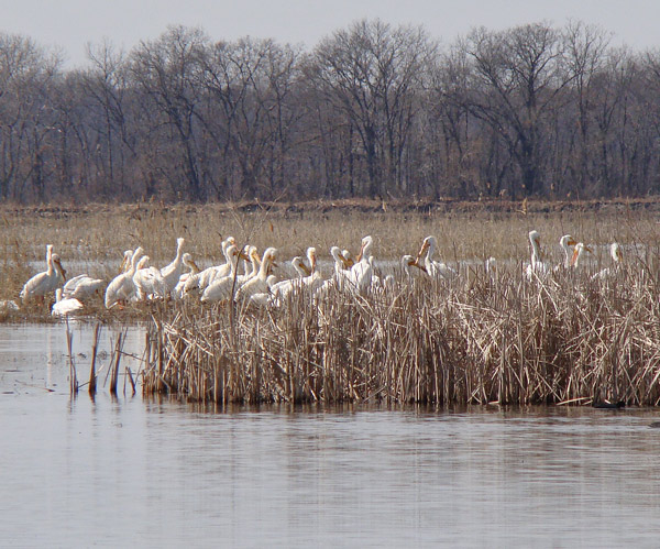 White Pelicans resting on an island in the lake at Willow Slough. Photo by Ethan Gyllenhaal.