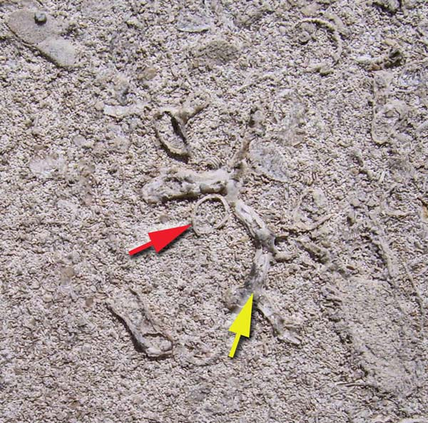 The yellow arrow points to a fossil stick coral. The red arrow points to a cross-section view of a brachiopod shell.