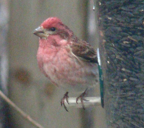 Here's one way to tell it's a Purple Finch and not a House Finch: The top of the head is raspberry colored, not brown. Photo by Ethan Gyllenhaal.