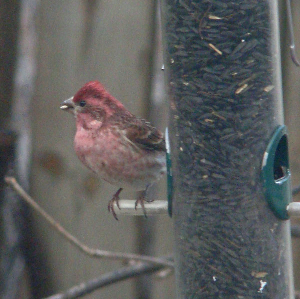 Male Purple Finch seen at our feeder in Oak Park, Illinois, March 16, 2009. Photo by Ethan Gyllenhaal.