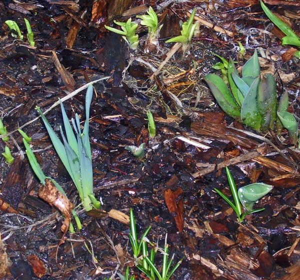 Can you identify the shoots for what will soon be spring flowers?