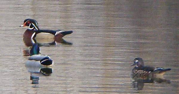 Wood Ducks and Mallard on the lagoon at Columbus Park. Photograph by Ethan Gyllenhaal.
