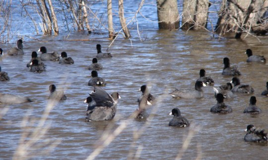 American Coots head for open water in a flooded field near the Kankakee River.