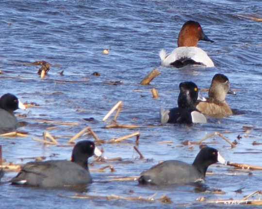 Male Canvasback (upper right), pair of Ring-necked Ducks (center right), and three American Coots (in foreground).