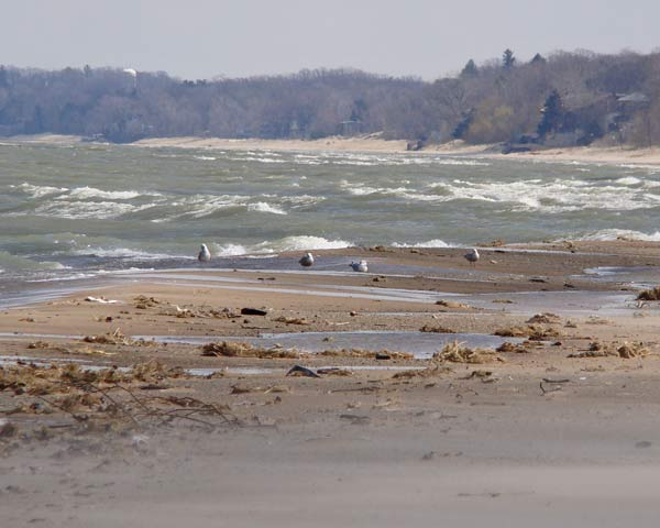 We hiked a mile to look closely at the four immature gulls in the center of the photo. The foreground is blurred by wind-blown sand. Photo by Ethan Gyllenhaal.