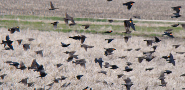 Mixed flock of Red-winged Blackbirds and Brown-headed Cowbirds flying over the fields at Sauer Family Preserve.