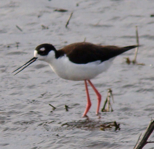 In this photo, the Stilt's bill is open, and you can see its pink tongue.