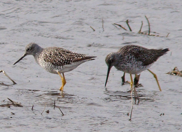 Greater Yellowlegs use their long bills to cath and eat small animals in the water.