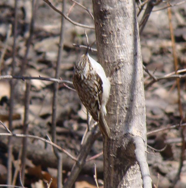 Brown Creeper... Photo by Ethan Gyllenhaal.