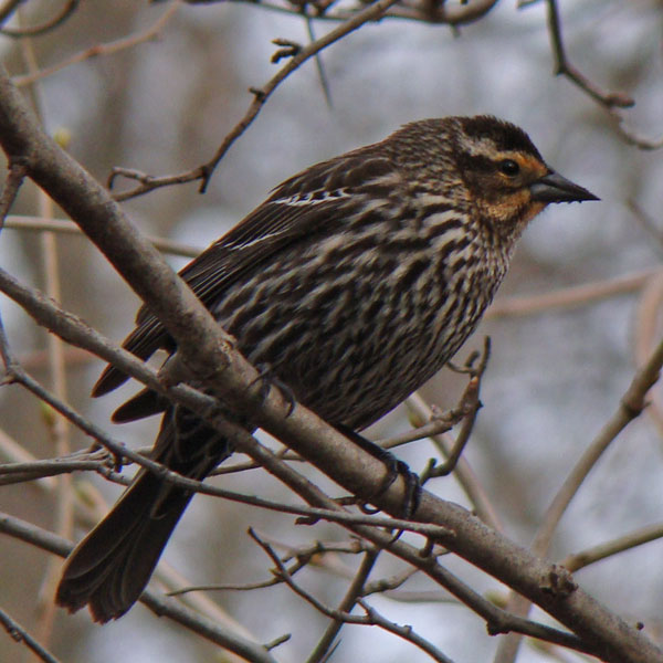 Female Red-winged Blackbird... Photo by Ethan Gyllenhaal.