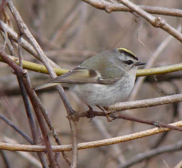 Golden-crowned Kinglet.... Photo by Ethan Gyllenhaal.