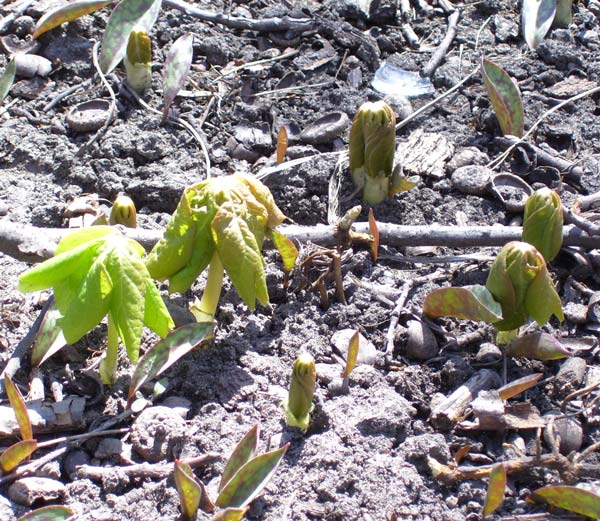 There were several stages of opening Mayapple leaves. Soon we'll see flower buds below some of the leaf umbrellas.