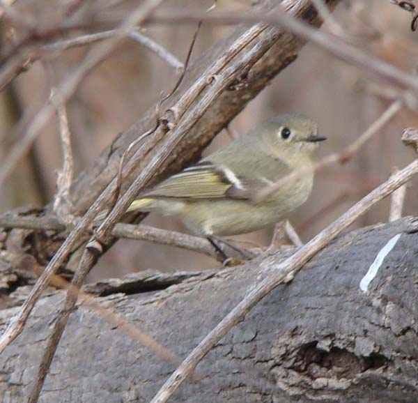 Ruby-crowned Kinglet.... Photo by Ethan Gyllenhaal