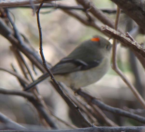 Ruby-crowned Kinglet, The Grove, Glenview, Illinois, April 12, 2009.