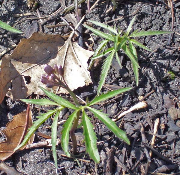 Cut-leaved Toothwort leaves and buds, Columbus Park, Illinois, April 12, 2009.