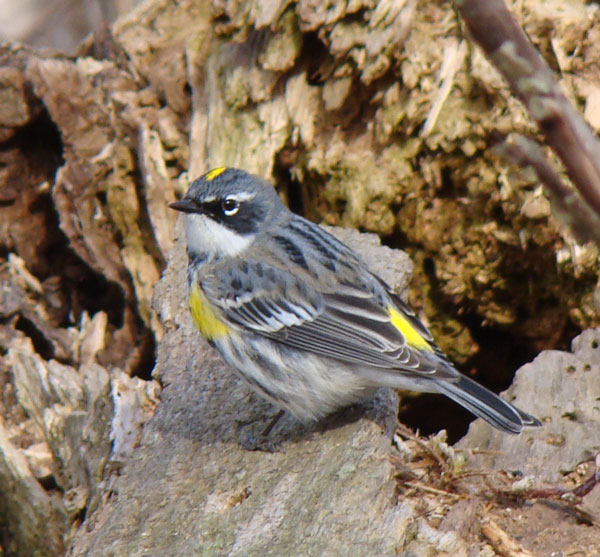 Yellow-rumped Warbler... Photo by Ethan Gyllenhaal.