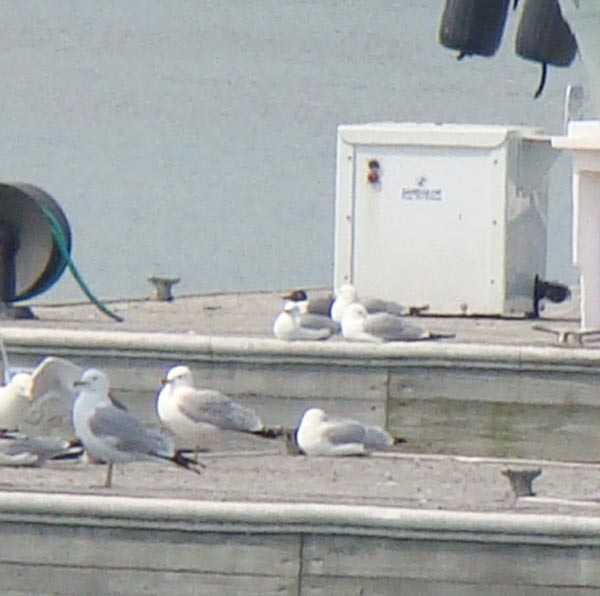 The Laughing Gull (with black head) is resting in the center of the photo. Photo by Ethan Gyllenhaal.