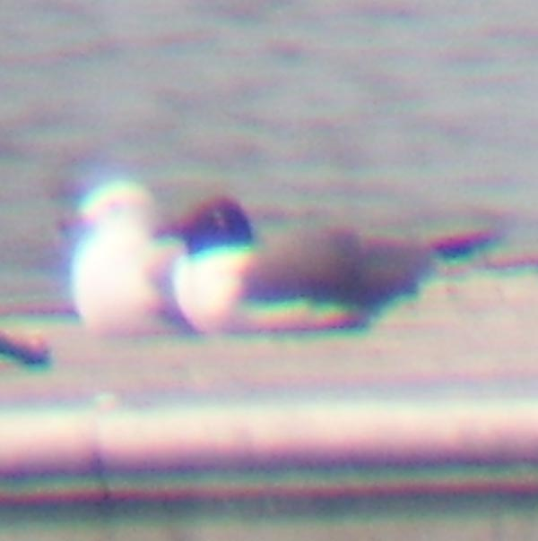 The Laughing Gull is resting in front of a somewhat larger Ring-billed Gull.