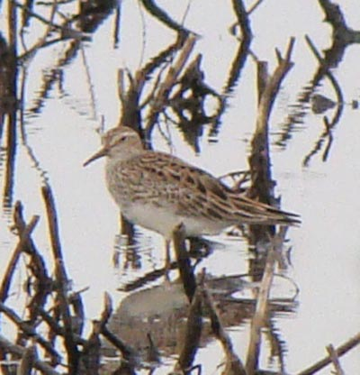 Birders use size, bill shape and color, leg color, steaking on the chest, and several other features to distinguish Pectoral Sandpipers from similar, related species. Photo by Ethan Gyllenhaal.