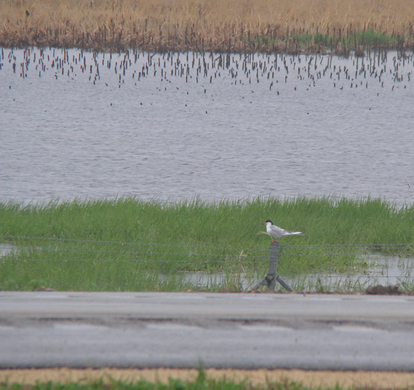 We first saw the Forster's Tern flying over the water, but then it landed on a post so we could get a closer look. Photo by Ethan Gyllenhaal.