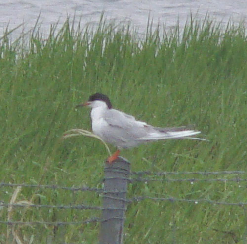 This closer view shows some key features that distinguish Forster's from Common Tern: