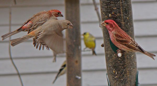 A pair of House Finches try to chase a male Purple Finch from our sunflower feeder. They did not succeed. (Those are American Goldfinches in the background.)