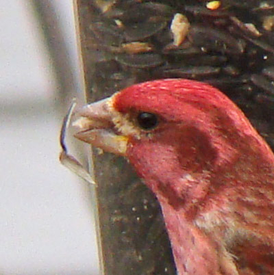 The male Purple Finch has just cracked through the seed coat and is holding a sunflower kernel.